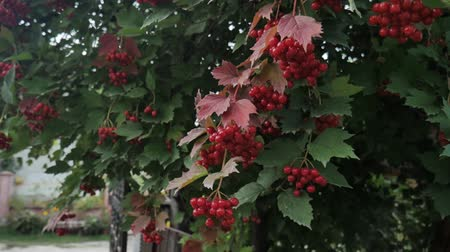 healthyfood : Viburnum opulus, Guelder Rose, branch with red berries in breeze. Closeup shot