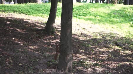 red rodent : A squirrel that runs around threes. Stock Footage