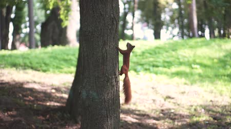 kürklü : Red squirrel climb on three in the forest. Stok Video