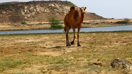 camelo : camel eating near the sea