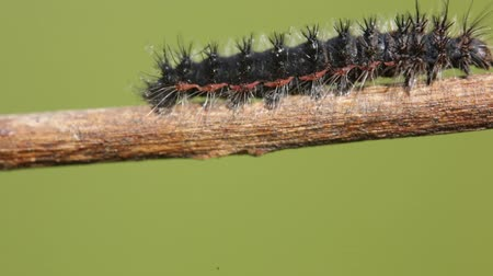 lagarta : italy black blur caterpillar in a branch move by the wind