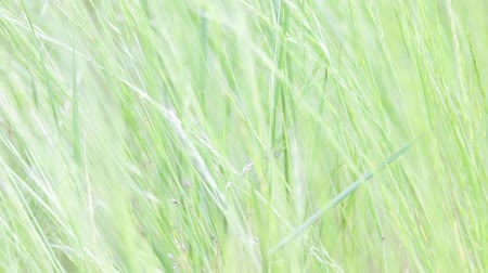 мягкий : close up abstract background texture of grass in the wind with water