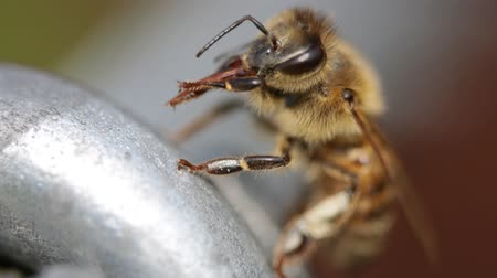 pszczoła : little bee on the metal cleaning His proboscics abstract background