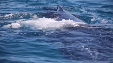 whale : in australia a free whale in the ocean like the concept of freedom Stock Footage
