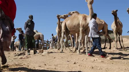 the bedouin : ETHIOPIA, BABILE-CIRCA DECEMBER 2017 - unidentified people in the dromedary market Stock Footage
