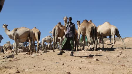 pobre : ETHIOPIA, BABILE-CIRCA DECEMBER 2017 - unidentified people in the dromedary market Vídeos