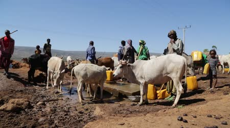 the bedouin : ETHIOPIA, BABILE-CIRCA DECEMBER 2017 - unidentified people in the cow market Stock Footage