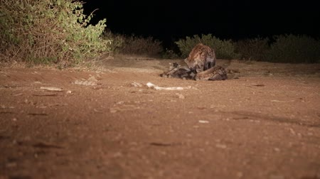 dravý : in africa ethiopia the hyenas in the night and food