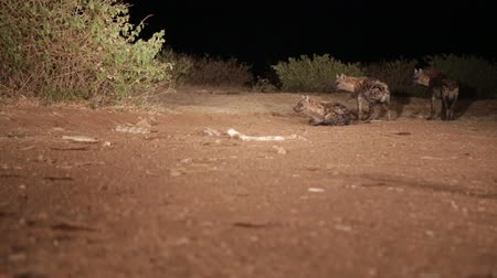 savanna : in africa ethiopia the hyenas in the night and food