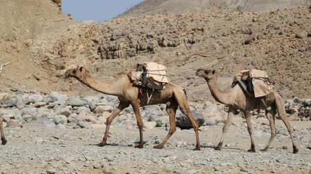 axle : ETHIOPIA, DANAKIL-CIRCA JANUARY 2018 - unidentified worker and camel caravan in the salt lake