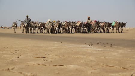 salt marsh : ETHIOPIA, DANAKIL-CIRCA JANUARY 2018 - unidentified worker and camel caravan in the salt lake