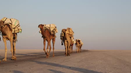 salt marsh : in danakil ethiopia africa in danakil ethiopia africa in the village the caravan of donkey with saltin the village the caravan of donkey with salt Stock Footage