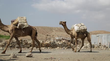 axle : in danakil ethiopia africa in the village the caravan of donkey with salt Stock Footage