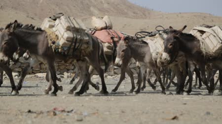 salt marsh : in danakil ethiopia africa in the village the caravan of donkey with salt Stock Footage