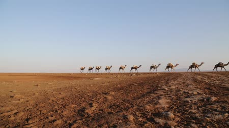 salt marsh : in danakil ethiopia africa in the sunset the caravan of camels with salt