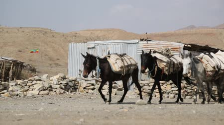 çuval : in danakil ethiopia africa in the village the caravan of donkey with salt Stok Video