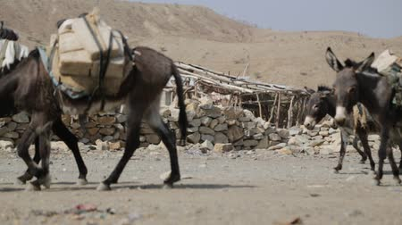 бедный : in danakil ethiopia africa in the village the caravan of donkey with salt Стоковые видеозаписи