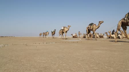 wielbłąd : in danakil ethiopia africa in the sunset the caravan of camels with salt