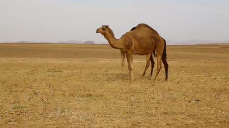 чад : in sudan africa camels in the nubian desert concept of wild and adventure