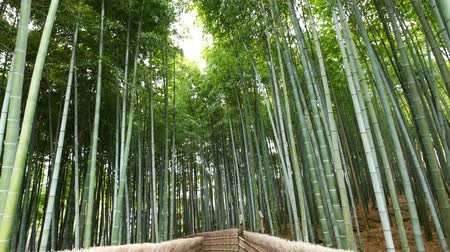 bamboo forest : Tilt up view of Bamboo forest, Arashiyama, Kyoto, Japan Stock Footage