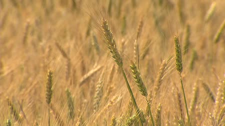 pszenica : wheat field