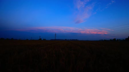 сценарий : Wheat field. Wheat matures on farmlands. Time Lapse