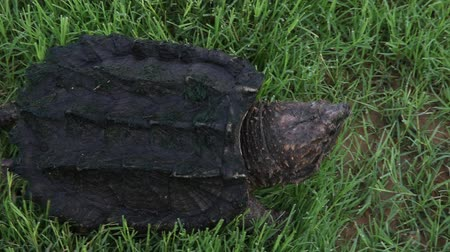 significar : Alligator Snappiung Turtle moving.