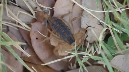 boomschors : Texas Striped Bark Scorpion