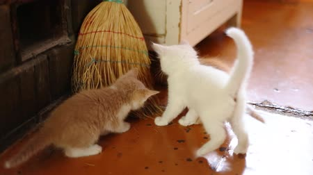 zvědavý : cute kittens playing indoor, Full HD