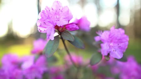 rhododendron : beautiful Rhododendron, Full HD close up slow motion