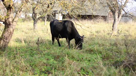 Livestock. Black cow eating grass in a meadow. Plot in the village. Glade with vegetation and trees. A small house. Domestic animal with horns and hooves.