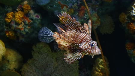 Corals and exotic marine fish. Ocean life Under Water. Lionfish or Pterois native to the Indo-Pacific. Also called zebrafish, firefish turkeyfish or butterfly-cod. Large aquarium. Tropical inhabitants