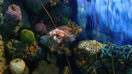 morina : Corals and exotic marine fish. Ocean life Under Water. Lionfish or Pterois native to the Indo-Pacific. Also called zebrafish, firefish turkeyfish or butterfly-cod. Large aquarium. Tropical inhabitants