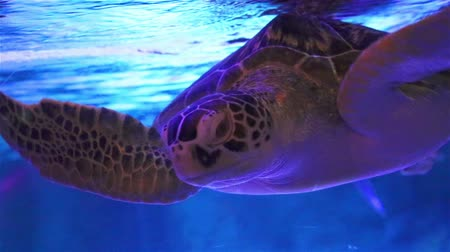 The turtle swims in a large aquarium. Bangkok Oceanarium, Thailand. Sea life. Scene under water. Wild nature. Tropical inhabitants closeup. Dostupné videozáznamy