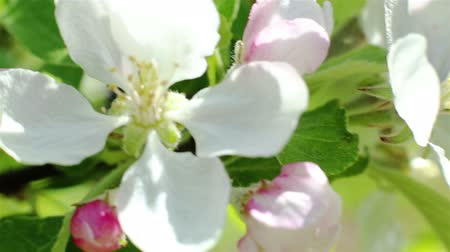 Blossoming apple tree. Macro shot white flower on the wind. Close up video spring time nature