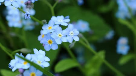 növénytan : Forget-me-not closeup clip. Beautiful flowers. Nature video Full HD. Moving camera macro.