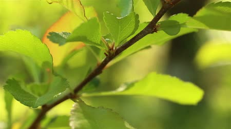 Spring time nature. Fresh green leaves macro shot. Branch close up