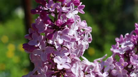 Beautiful macro video of a purple lilac blooming. Close up flowers. Spring time Wideo