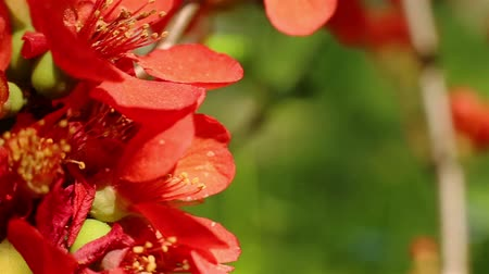 pigwa : Blooming quince. Cydonia oblonga. Red flowers close up. Beautiful nature