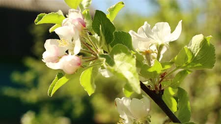 ág : Blossoming apple tree. Macro shot white flower on the wind. Close up video spring time nature