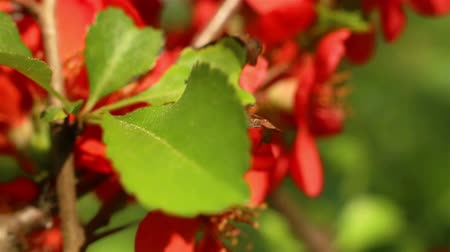 Blooming quince. Cydonia oblonga. Red flowers close up. Beautiful nature