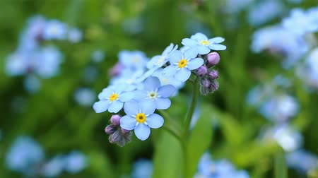 хрупкость : Forget-me-not closeup clip. Beautiful flowers. Nature video Full HD. Moving camera macro.
