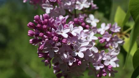 Beautiful macro video of a purple lilac blooming. Close up flowers. Spring time Dostupné videozáznamy