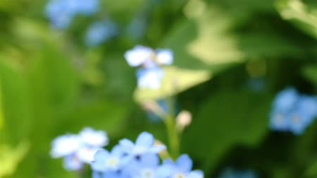 forget : Forget-me-not closeup clip. Beautiful flowers. Nature video Full HD. Moving camera macro.