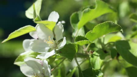 apple park : Blossoming apple tree. Macro shot white flower on the wind. Close up video spring time nature