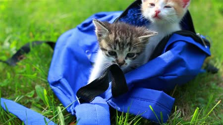 Two cute kittens looking from the bag the first time outdoors. Adorable kitty on the grass. Animal and nature Wideo