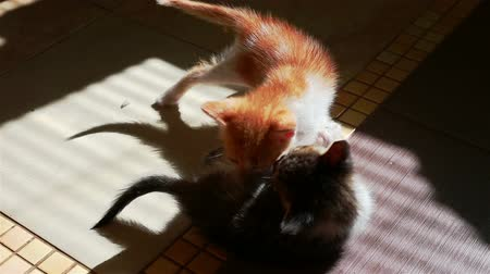 домашнее животное : Two Little Kittens Playing. Wrestling Small Cats indoors. Playful Pets Bite Each Other. Стоковые видеозаписи