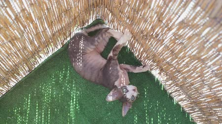 kotki : cat Devon Rex plays with a stick