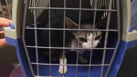 ловушка : Confused Cat with big eyes in cage at Vet. Pedigree devon rex Стоковые видеозаписи