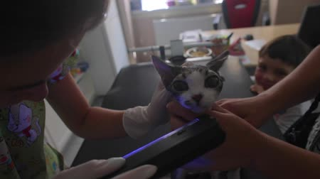 Examination of a devon rex cat with an ultraviolet lamp on a black table in a veterinary clinic. A nurse wearing white gloves. Child 4-6 years old boy in the background. Dostupné videozáznamy
